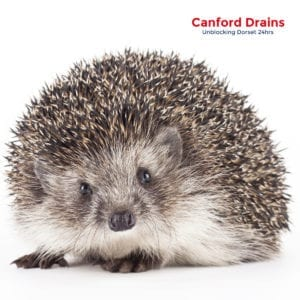 Canford Drains save the hedgehog